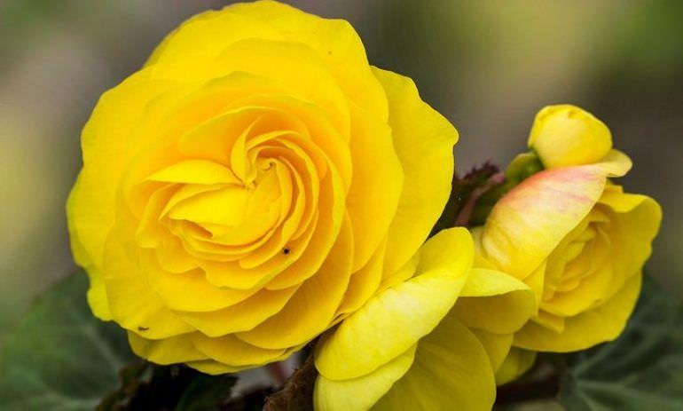 Цветение желтой бегонии