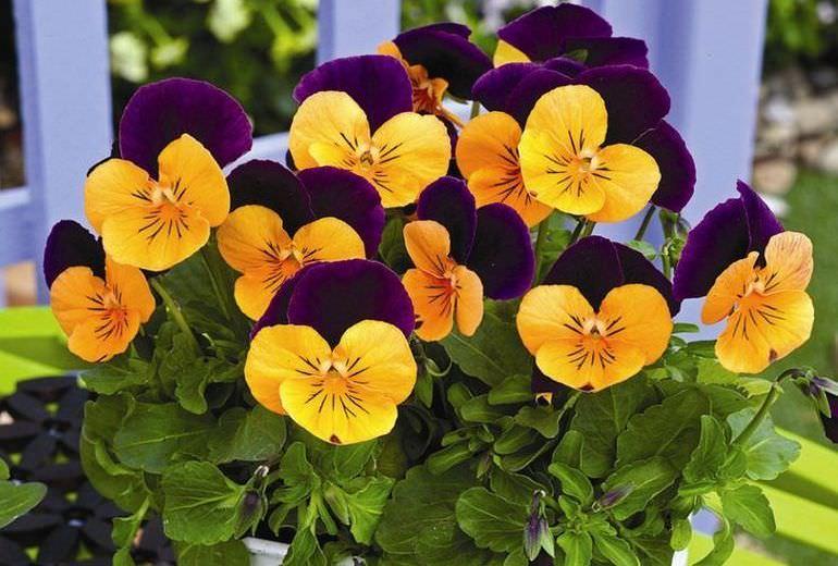 Цветущий многолетний для дачи
