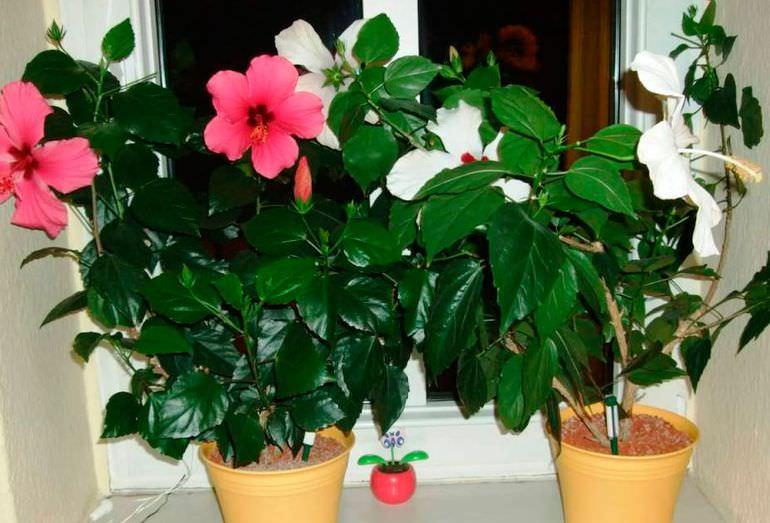 Выращивание китайской розы