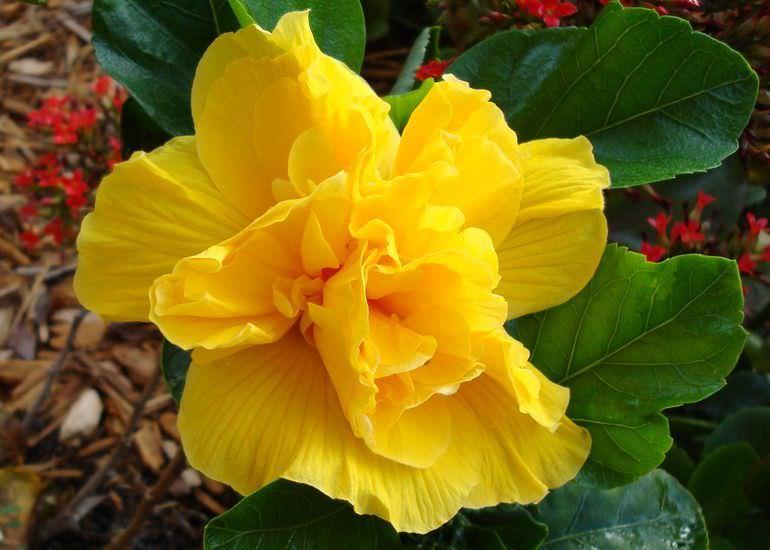 Желтая китайская роза