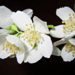 Жасмин: посадка, уход и размножение кустарника