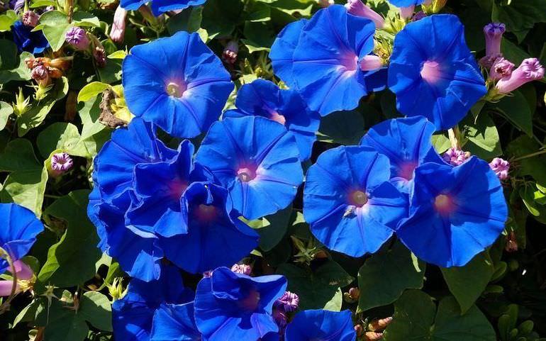 Ярко-синяя ипомея