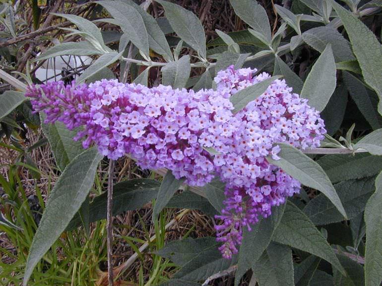 Буддлея цветет