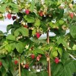 Малиновое дерево: правила посадки и ухода