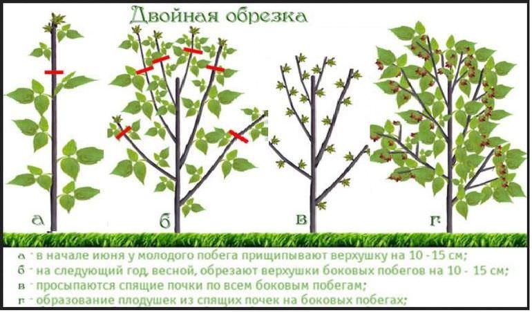 Обрезка малинового дерева