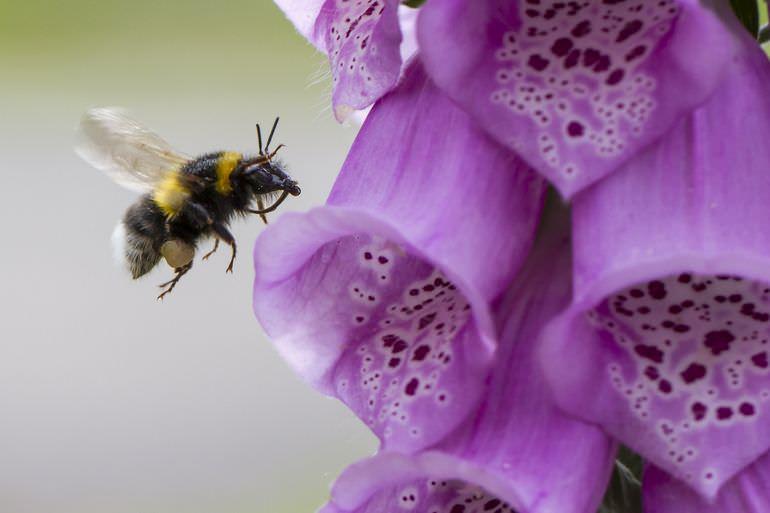 Пчела на цветке наперстянки