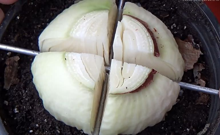 Деление луковицы амариллиса