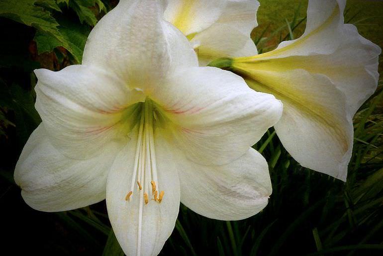 Белый амариллис