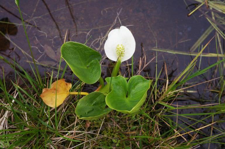 Белокрыльник болотный
