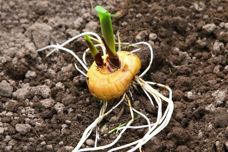 Мосадка луковицы монтбреции в грунт