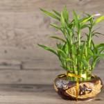 Размножение комнатного бамбука и уход за ним