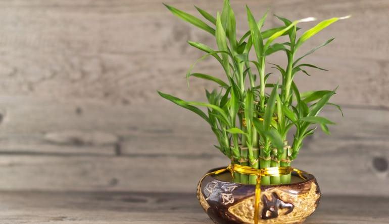 Комнатный бамбук