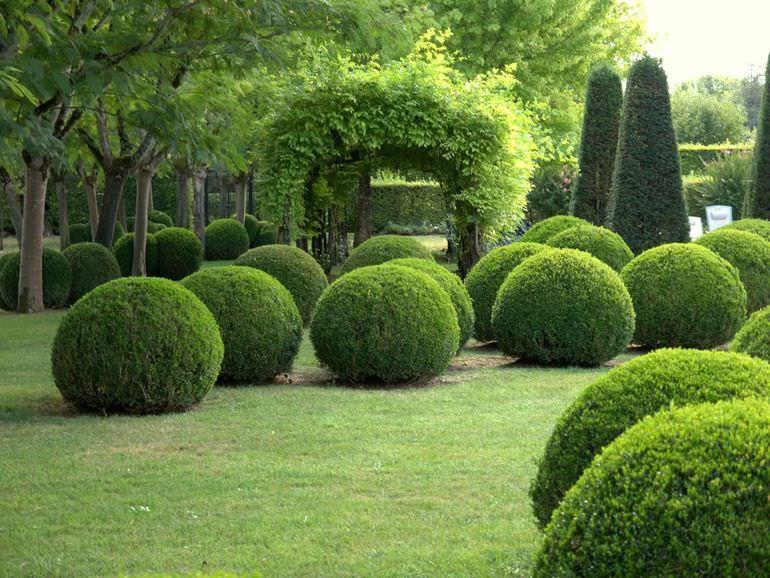 Самшиты в саду
