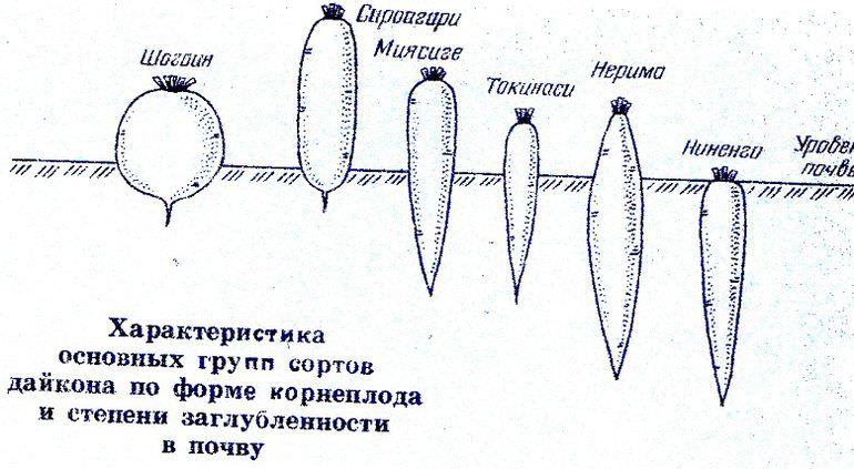 Сорта дайкона в зависимости от заглубленности в почву