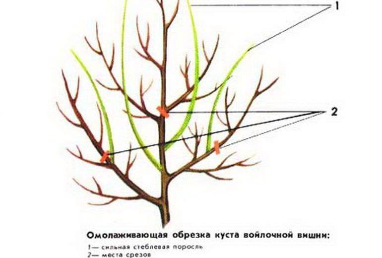 Правильная обрезка войлочной вишни