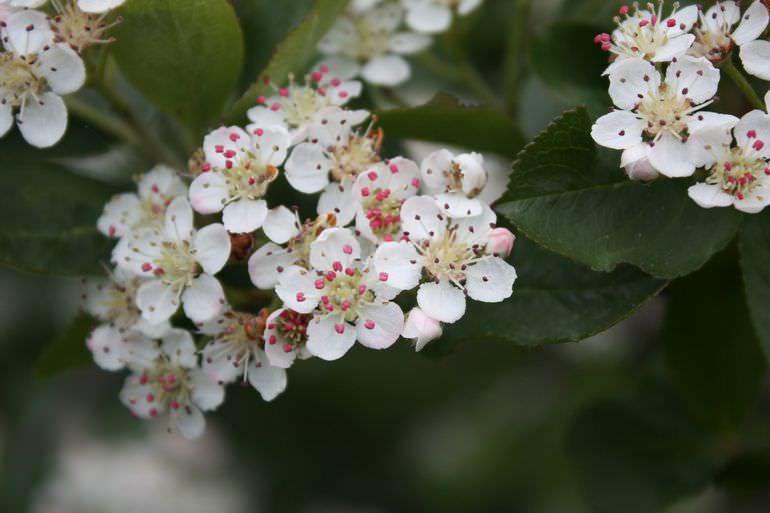 Цветение черноплодки