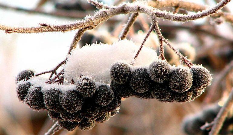 Ягоды черноплодки зимой
