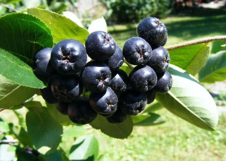 Арония черноплодная