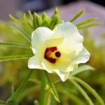 Как вырастить бамию