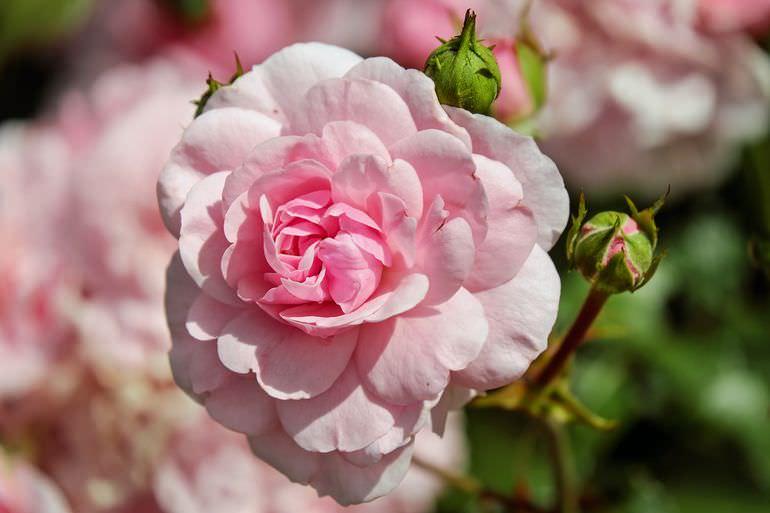 Цветущая роза на клумбе