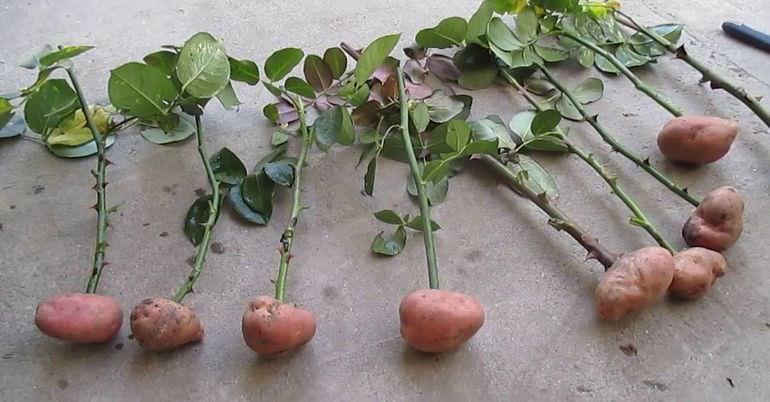 Роза в картофеле