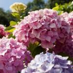 Как вырастить садовую гортензию на Урале
