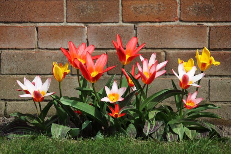 Тюльпаны на грядке