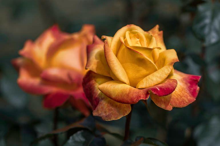 Роза на участке