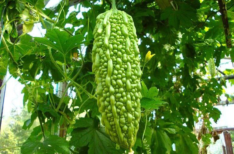 Плод момордики на кусте