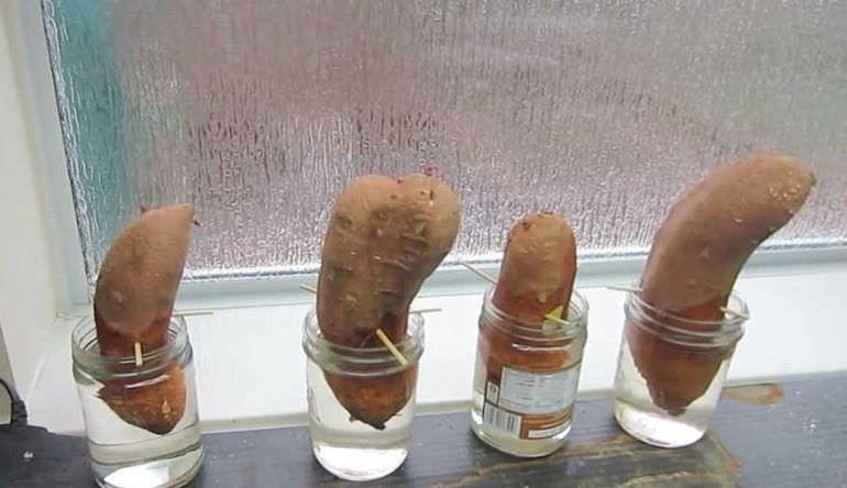Проращивание батата в воде