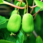 Выращивание и уход за актинидией