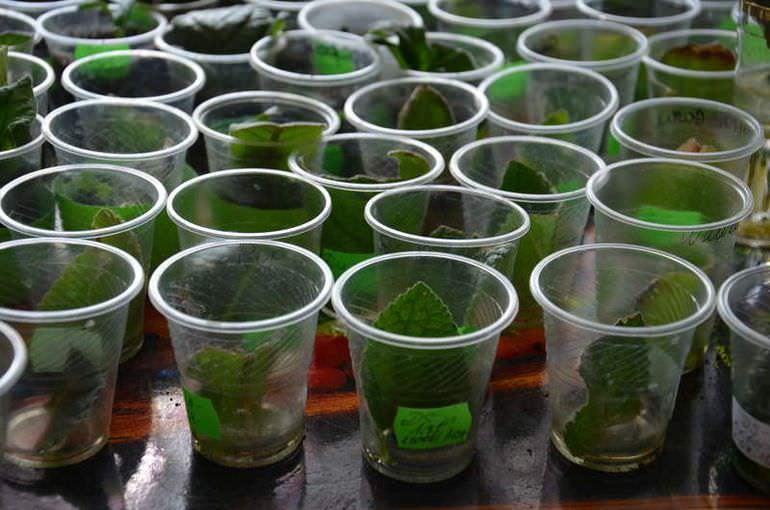 Размножение стрептокарпуса листом