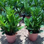 Замиокулькас: уход за цветком в домашних условиях