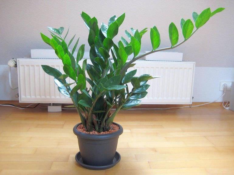 Выращивание замиокулькаса дома