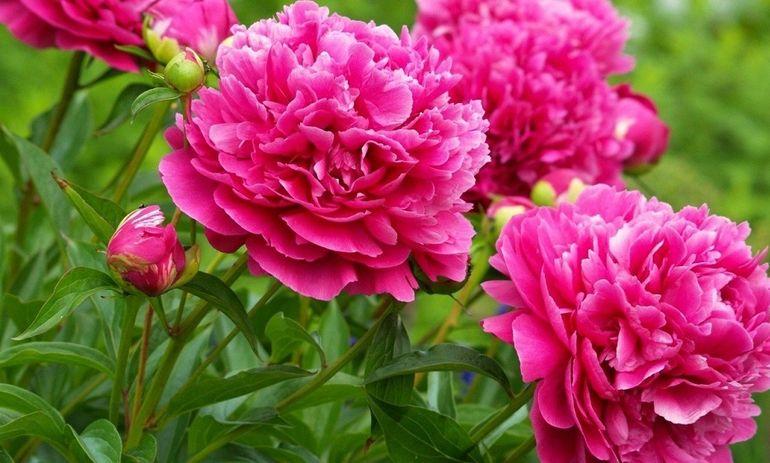 Розовые пионы в саду