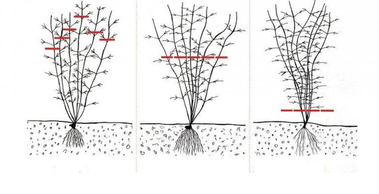 схема обрезки клематиса осенью