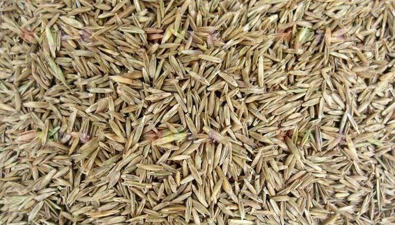Семена овсяницы сизой