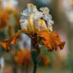 Как рассадить ирисы осенью