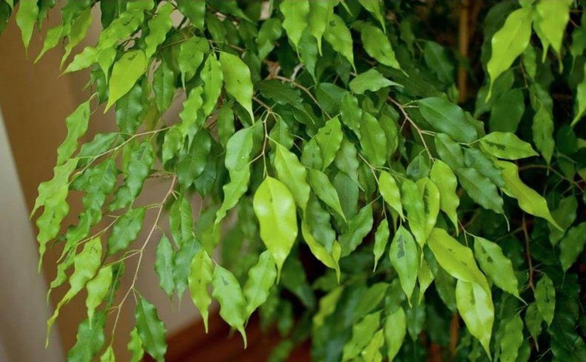 Листья фикуса теряют откраску
