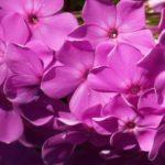 Как ухаживать за флоксами после цветения
