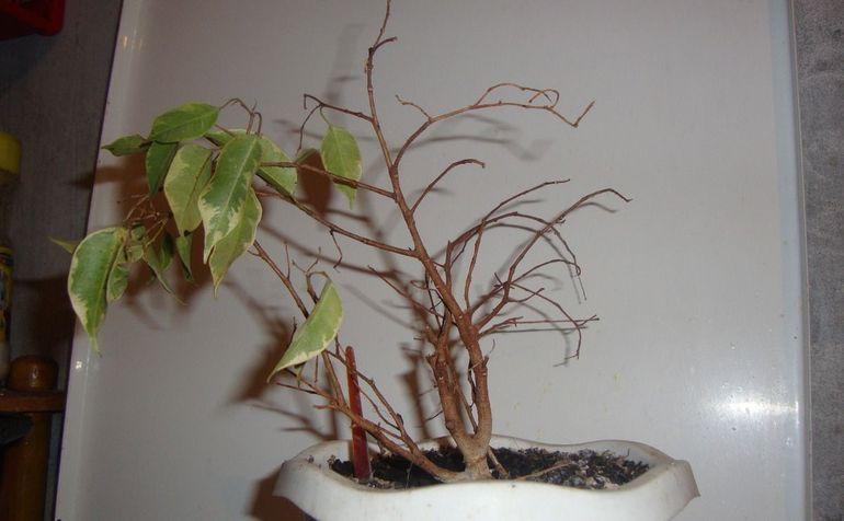 Опадение листьев на фикусе Бенджамина