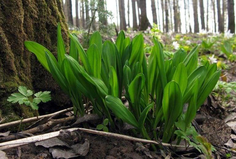 Черемша в лесу