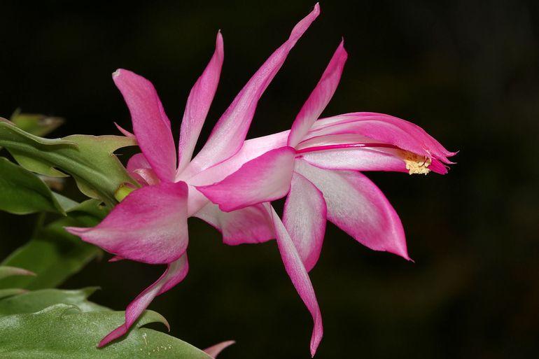 Цветок декабрист: как ухаживать в домашних условиях