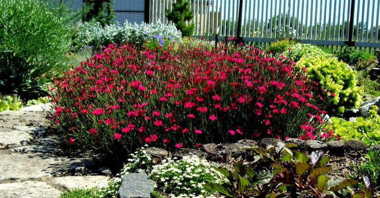 Цветы гвоздика травянка