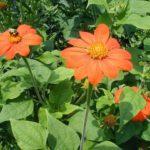 Цветы Титония на участке