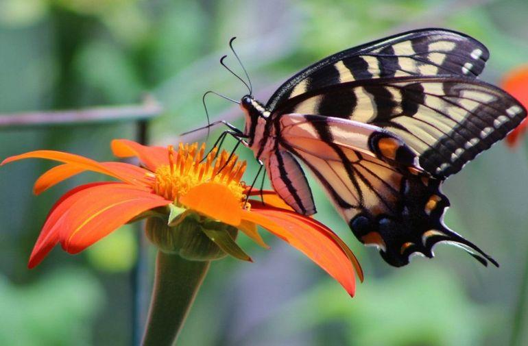 Бабочка Титонии