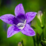 Колокольчик садовый многолетний
