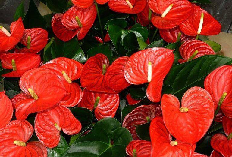 Ядовитый комнатный цветок антуриум