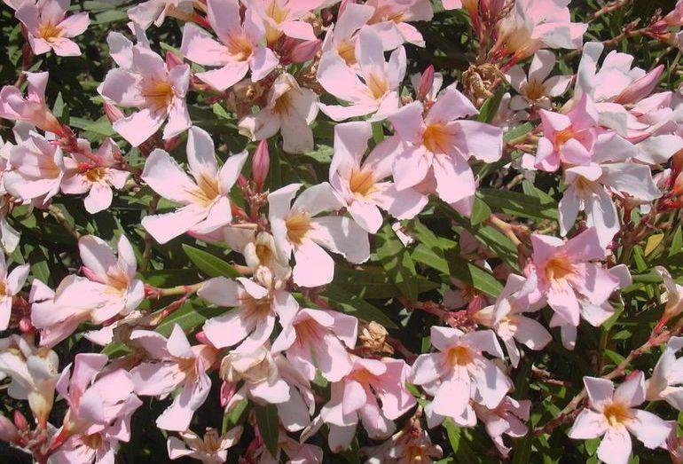 Ядовитый комнатный цветок олеандр