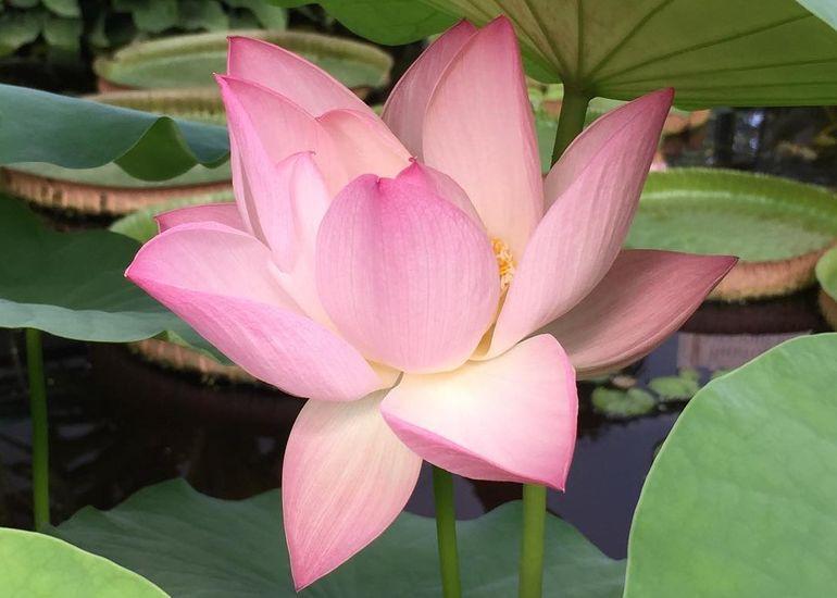 Лотос розовый орехоносный